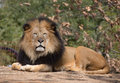 Male lion laying down. Royalty Free Stock Photo
