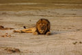 Male lion lays on sandy desert floor in namibian desert looking at the photographer adult alone Royalty Free Stock Image