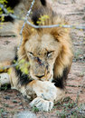 Male lion licking his wounds after a territorial fight Royalty Free Stock Images