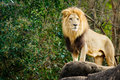 Male lion looking out atop outcrop rocky Stock Photo