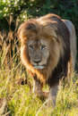 Male lion lurking through the grass a in late afternoon sun at schotia safaris private game reserve Royalty Free Stock Photo