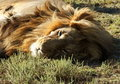 Male lion lying in the afternoon sun Royalty Free Stock Photography