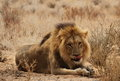Male lion lying down Royalty Free Stock Images