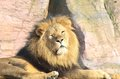 Male lion lying down Royalty Free Stock Photo