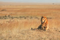 Male lion in masai mara lying the grass at sunset kenya Royalty Free Stock Images