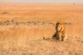 Male lion in masai mara lying the grass at sunset kenya Royalty Free Stock Photography