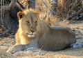 Male lion (Panthera leo), Etosha, Namibia Royalty Free Stock Image