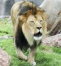 A Male Lion, Panthera leo, Roaring Loudly