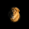 Male Lion Portrait Royalty Free Stock Photo