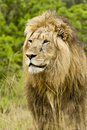 Male lion portrait large staring into the distance Royalty Free Stock Photography