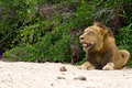 Male lion rest on river bed white sand looking relax Royalty Free Stock Photo