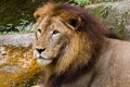 Male lion in singapore zoo Royalty Free Stock Photography