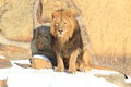 Male lion the sitting on the snow Stock Photography