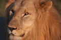 Male lion a in south africa s madikwe game reserve Royalty Free Stock Photos