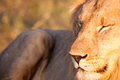 Male lion a in south africa s madikwe game reserve Royalty Free Stock Photography