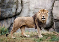 Male lion a stares directly into the camera Royalty Free Stock Images