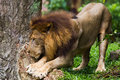 Male lion stretching in singapore zoo Stock Image
