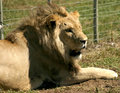 Male lion in the sun a closeup of an adult resting a sanctuary Stock Photo