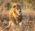 Male Lion At Sunrise Royalty Free Stock Photo