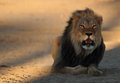 Male lion at sunset lying on the sand with suns reflection in his eyes staring Royalty Free Stock Photography