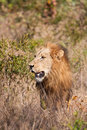 Male lion walk in brown grass with large mane Stock Photos