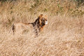Male lion walk in brown grass with large mane Royalty Free Stock Photography