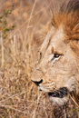 Male lion walk brown grass large mane portrait Stock Photos