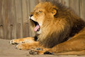 Male Lion Yawning Royalty Free Stock Image