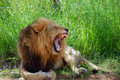 Male Lion yawning in the Park Royalty Free Stock Photo