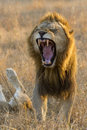 Male Lion yawning, South Africa Royalty Free Stock Image