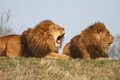 Male lions Royalty Free Stock Photography