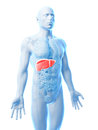 Male liver d rendered illustration of the Stock Photo
