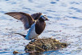 Male long tailed duck adult flapping wings on a small dirt snag Stock Image