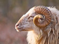 Male long-tailed sheep Stock Image