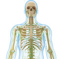 Male lymphatic system with skeleton front view anatomy d illustration of the Royalty Free Stock Photo