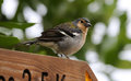 Male of a madeiran chaffinch fringilla coelebs maderensis Stock Photography