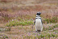Male magellanic penguin stays in the colony falkland islands Royalty Free Stock Photo