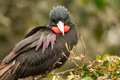 Male Magnificent Frigatebird Royalty Free Stock Image