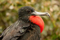 Male Magnificent Frigatebird Stock Photos