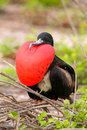 Male Magnificent Frigatebird with inflated gular sac on North Se Royalty Free Stock Photo