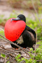Male magnificent frigatebird with inflated gular sac on north se fregata magnificens seymour island galapagos national park Royalty Free Stock Photos