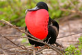 Male magnificent frigatebird with inflated gular sac on north se fregata magnificens seymour island galapagos national park Stock Photography