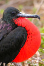 Male magnificent frigatebird with inflated gular sac on north se fregata magnificens seymour island galapagos national park Royalty Free Stock Image
