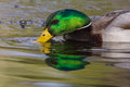 Male mallard dabbling at sunset for food in a pond Royalty Free Stock Photography