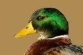 Male Mallard duck Stock Photography