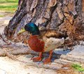 Male mallard duck a colorful standing by a pine tree Stock Photography