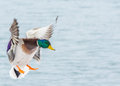 Male mallard duck coming in for a landing Royalty Free Stock Images