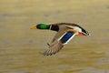 Male mallard duck in flight Royalty Free Stock Photo