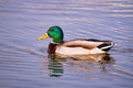 Male mallard duck floating on the pond Stock Photos