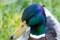 Male mallard duck having something to eat Stock Image